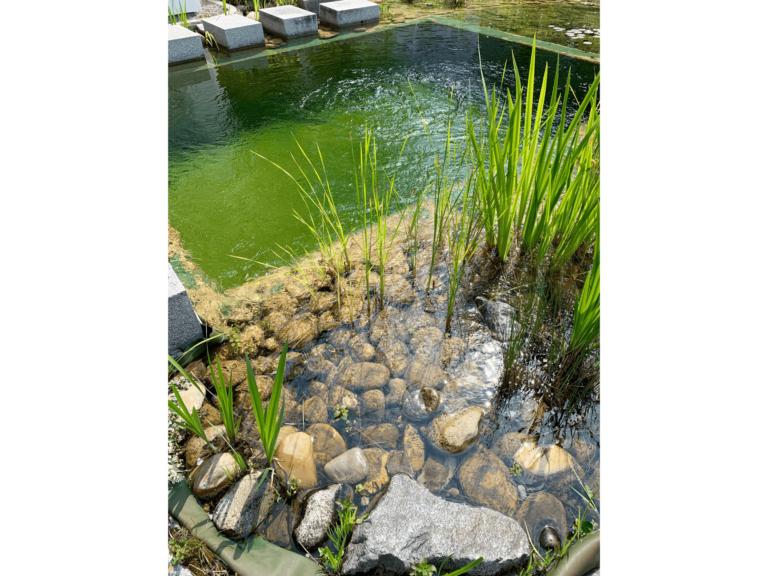 zone de lagunage d'une piscine biologique